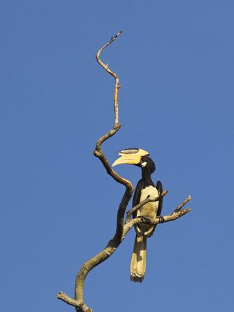 a malabar pied hornbill anthracoceros coronatus on a dead tree in udawalawe national park sri lanka Stock Photo - 6680916