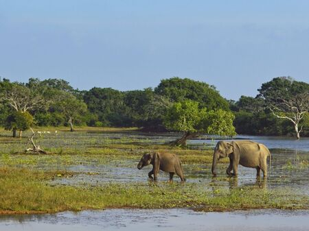 a mother and baby elephant in marshes in yala national park sri lanka photo