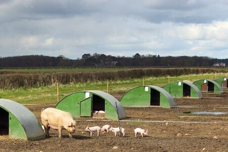 piglets: free range pig and piglets in a field with shelters under a stormy april sky