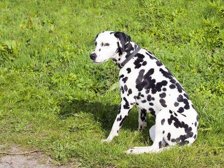 dalmation: a beautiful dalmation dog sitting on bright green grass near a track in the sunshine