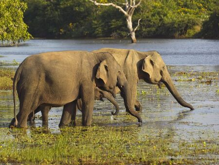 two adult sri lankan elephants with a small baby in a pool in yala national park sri lanka photo
