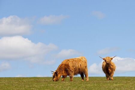 two highland cows in a pasture on the brow of a hill in springtime under a blue sky