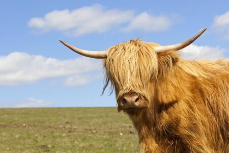 a close up of a highland cow in a hillside pasture with a blue sky on a sunny springtime day