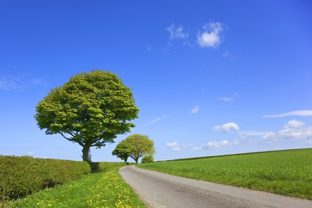 an english country landscape with wheatfields trees dandelions flowering in the grass verge and hawthorn hedges under a blue sky in springtime
