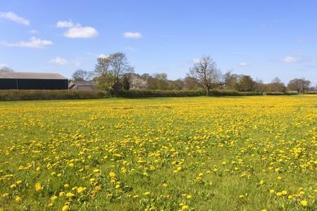 a field of dandelion flowers in springtime Stock Photo - 6969981