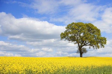 an oak tree on the horizon of a field of bright yellow rape seed flowers under a dramatic spring sky