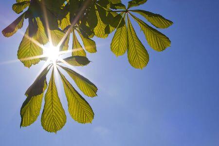 luce del sole di primavera splende attraverso ippocastano lascia contro un cielo blu  Archivio Fotografico