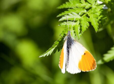 an orange tip butterfly anthocharis cardamines on a fern leaf in summer photo