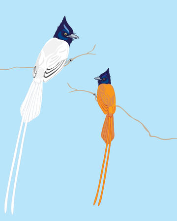 birds of paradise: vector illustration of a white indian flycatcher terpsiphone paradisi and a sri lankan orange paradise flycatcher terpsiphone paradis ceylonensis on a blue background
