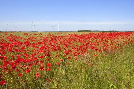 an agricultural field with oil seed and bright red poppies and wind turbines in the background under a blue summer sky photo