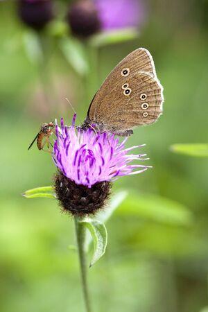 hyperantus: a ringlet butterfly aphantopus hyperantus on a knapweed flower in summer