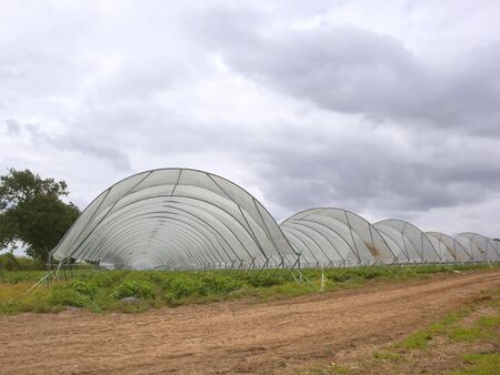 polythene: strawberry plants under polythene tunnels in the countryside under acloudy sky