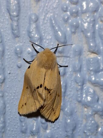 muslin: a muslin moth diaphora mendica on a blue background