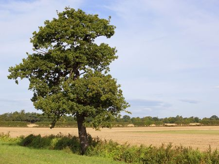 english oak: a tall oak tree in an english landscape under a blue summer sky