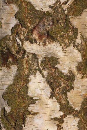 betula pendula: una stretta up di una sezione di corteccia di un albero di frusta
