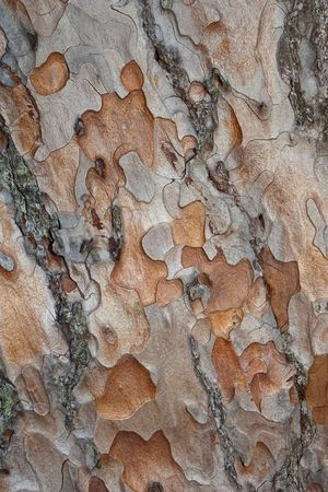 scots pine: background texture of scots pine bark Stock Photo