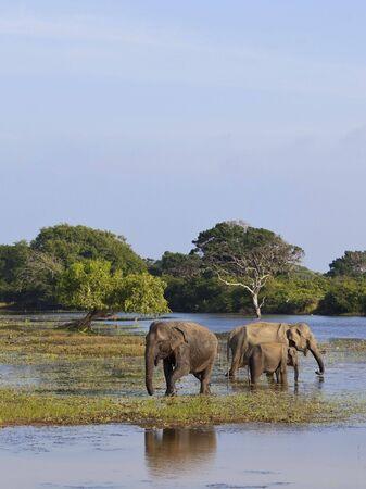 a family of elephants in a lagoon in yala national park sri lanka photo