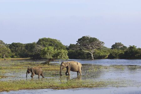 a mother and baby asian elephant in a lake at yala national park sri lanka photo