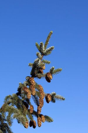 picea: a branch of sitka spruce picea sitchiana with ripe cones and blue sky background