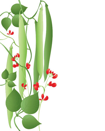 scarlet: an illustration of runner beans with scarlet flowers and green leaves on a white background Illustration