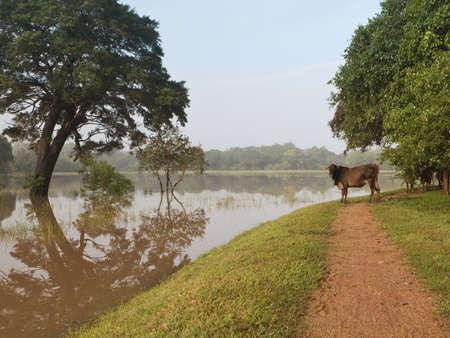 anuradhapura: a brown cow standing beneath green trees by a  lake at anuradhapura sri lanka