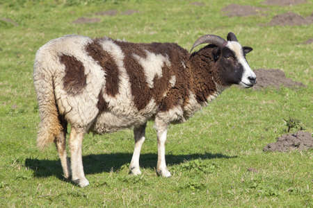 a brown and white jacobs ewe standing in a green meadow in springtime photo