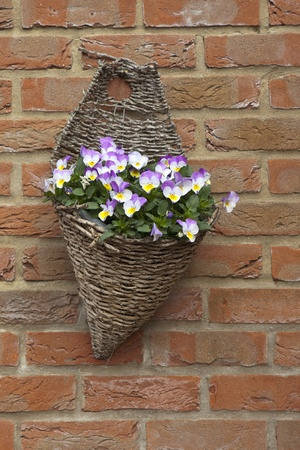 a wicker hanging basket with colorful viola flowers photo