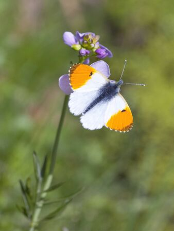a male orange tip butterfly anthocharis cardamines on a milk maid cardamine pretensis flower photo