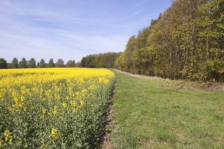 an english landscape with a field of oil seed rape under a blue sky in springtime photo