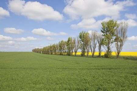 an english landscape with a row of poplar trees in farmland under a blue cloudy sky in springtime Stock Photo - 9357092