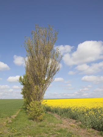poplars: an english landscape with a row of poplars and fields of crops under a blue sky in springtime Stock Photo