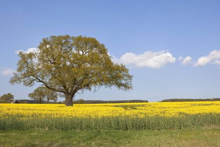 an english landscape with an oak tree coming into leaf in a field of yellow rape seed flowers under a blue sky with fluffy white clouds in springtime Stock Photo - 9388130