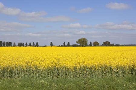 grass verge: seme di olio giallo brillante stupro con orlo di erba e alberi sotto un cielo nuvoloso blu fiori in primavera