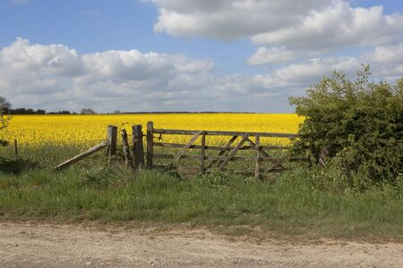 an old gate leading into a field of oil seed rape under a blue cloudy sky in springtime Stock Photo - 9467653