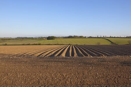 chalky: an english landscape with a field of potato rows on chalky soil under a blue sky