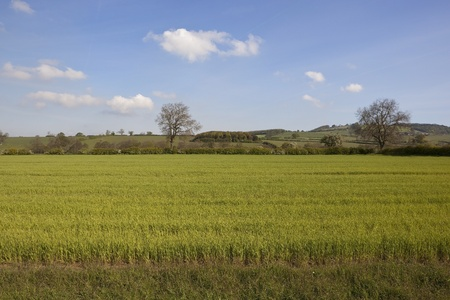 an english landscape with views over a field of young barley towards rolling hills and flowering hawthorn hedges under a blue sky Stock Photo - 9467672