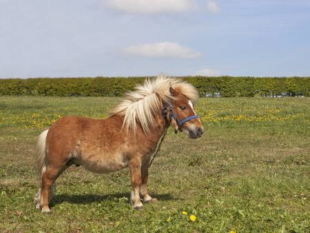 headcollar: a small shetland pony standing in a green meadow with hawthorn hedgerow under a blue sky Stock Photo