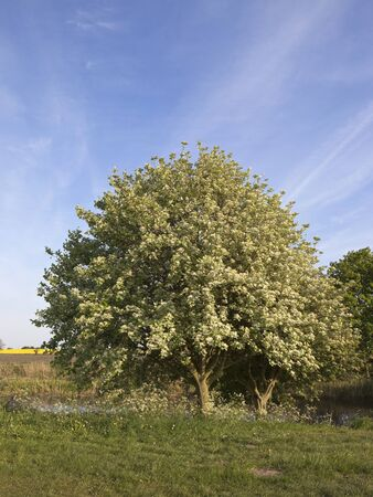 aria: a beautiful whitebeam tree sorbus aria growing by a canal under a blue sky