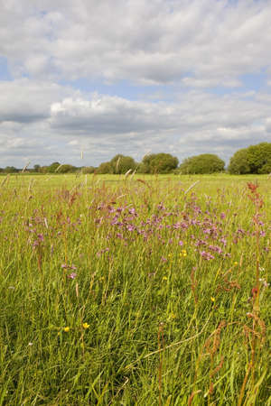 ragged robin: an english landscape with ragged robin and other wildflowers and grasses flowering in a traditional water meadow in may