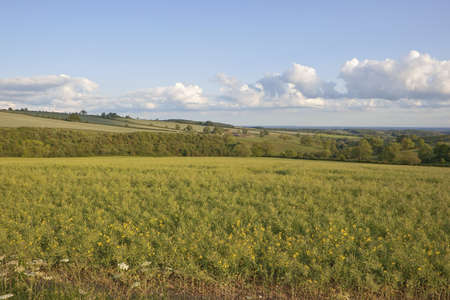 hillsides: an english landscape with a view across a field of rapeseed also known as canola towards checkered hillsides and woods in soft evening light Stock Photo