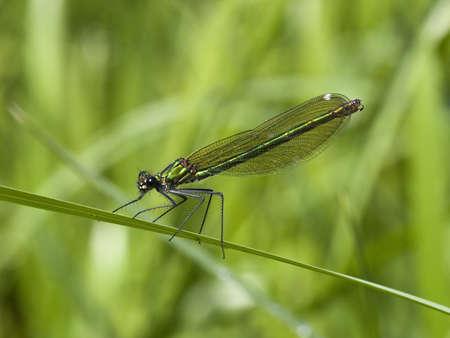 splendens: a female banded agrion also known as banded demoiselle or agrion splendens or calopteryx splendens resting on a leaf