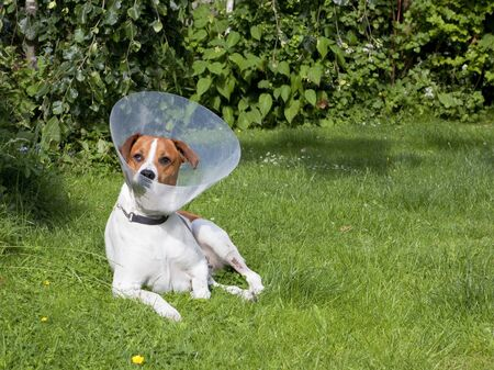 recovering: cute brown and white dog recovering from an operation relaxing in a garden Stock Photo