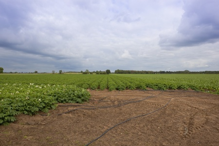 a large field of potatoes with irrigation tubes under a cloudy sky photo