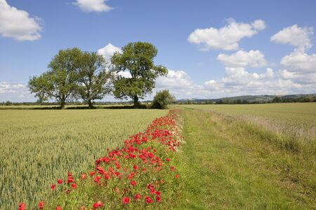 summer landscape with poppies growing by a farm track between fields of wheat under a blue sky with fluffy white clouds Stock Photo - 9800175