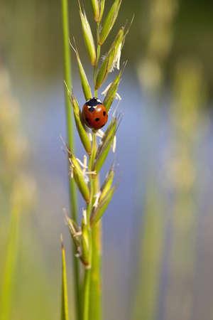coccinella: a seven spot ladybird coccinella 7- punctata on a grass seed head
