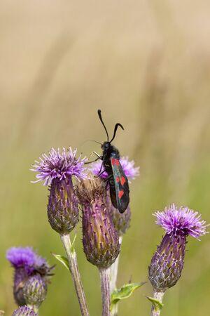 zygaena: a six spot burnet moth zygaena filipendulae feeding on the flowers of creeping thistle