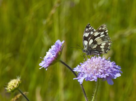 a marbled white butterfly melanargia galathea feeding from a field scabious flower knautia arvensis