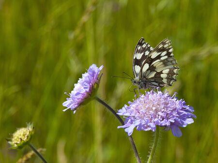 marbled: una farfalla bianca marmorizzata melanargia galathea alimentazione da un campo scabious fiore knautia arvensis Archivio Fotografico