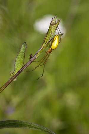 arachnids: a tetragnatha extensa spider with its prey on a plant stem Stock Photo