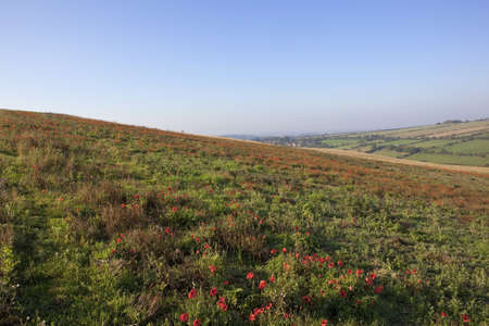 papaver rhoeas: field poppies papaver rhoeas flowering on an autumn hillside under a clear blue sky